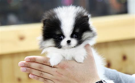 what is a teacup pomeranian teacup pomeranian separating fact from fiction