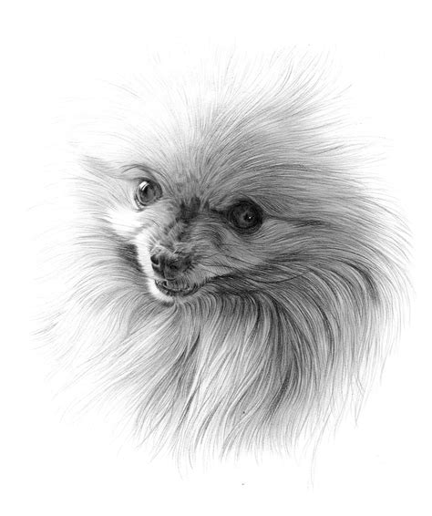 pomeranian drawing pomeranian pencil drawings pomeranian drawing nemo the pomeranian again all things
