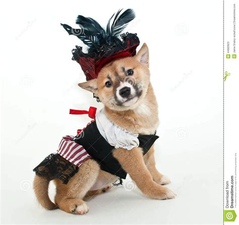 pirate puppy pirate puppy stock photo image 44683923