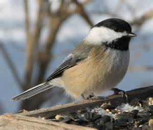 northern maine birds melanistic black capped chickadees