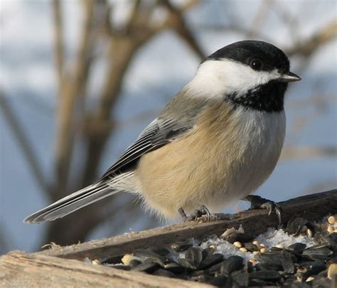 image gallery maine chickadee