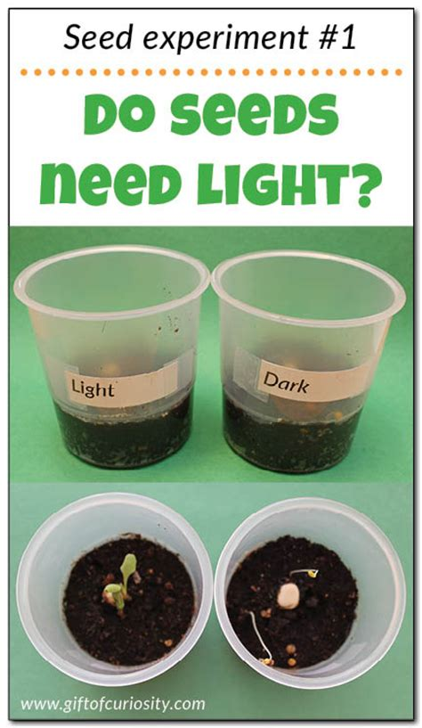 do seeds need light to germinate seed experiments for do seeds need light to grow