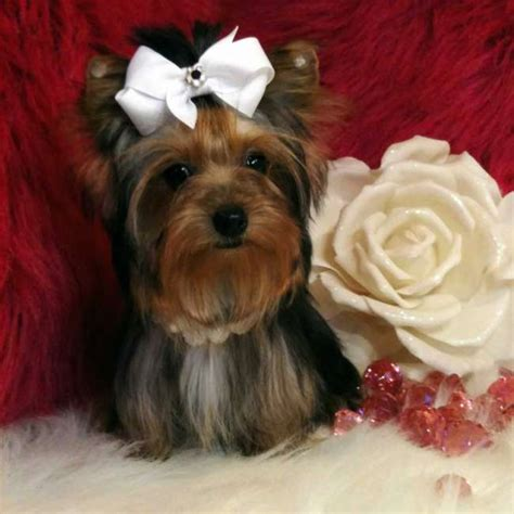 parti yorkie definition terrier teacup yorkie puppies for sale in design bild