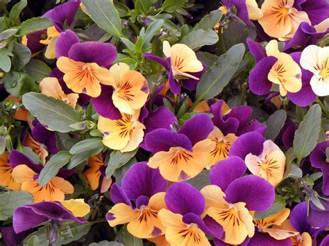 fiori in generale piante e fiori golasecca varese somma lombardo arona vergiate