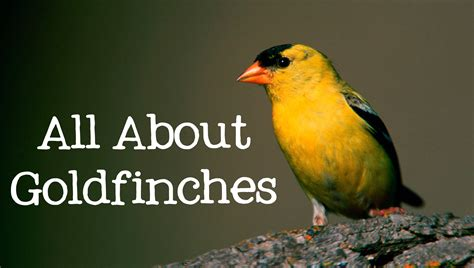 all about goldfinches backyard bird series freeschool