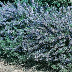 Where To Buy Herb Plants by Rosemary Miss Jessops Herb Plants For Sale Buy Online