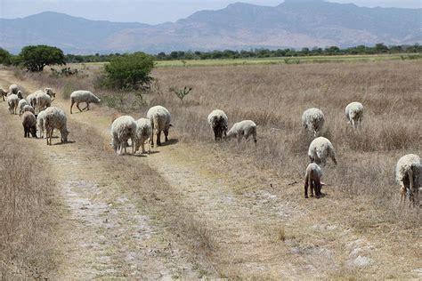 cuc tras de animales del roban ganado tras lesionar a velador