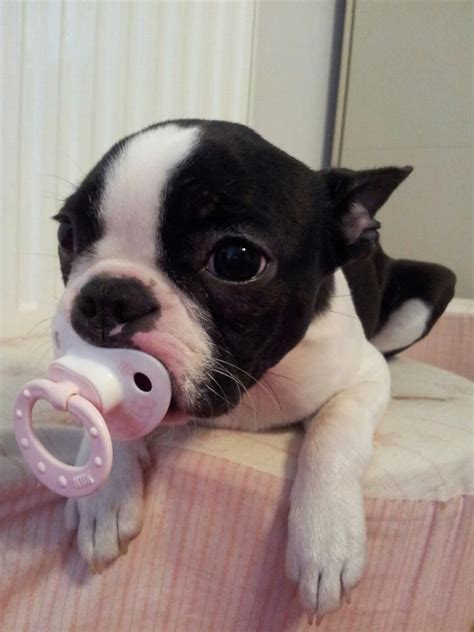 pictures of boston terrier puppies boston terrier baby with a binky check out 40 of these cutest babies http www
