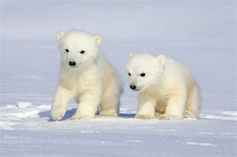 bbbear polar wildography safaris 187 archive nature wildlife