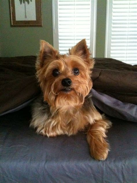 pictures of silky yorkies www silky yorkies pictures jake is a silky terrier silky terriers