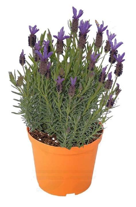 piante in fiore pianta di lavanda stoechas fiore viola vendita