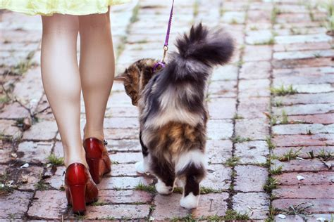 how to your to walk with a leash how to your cat to walk with a leash