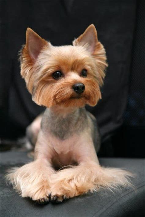 haircuts for yorkshire terriers with silky hair yorkshire terrier haircut yorkie haircuts pinterest