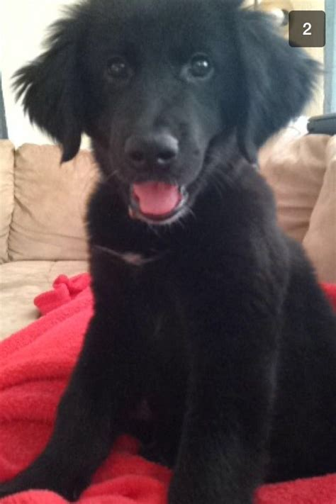 Great Pyrenees Black Lab Puppy | great pyrenees black lab mix black lab mixes pinterest