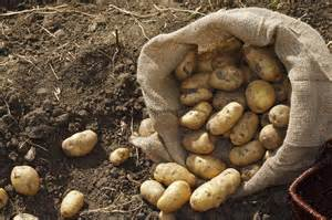 how to grow your own potatoes carpenters nursery