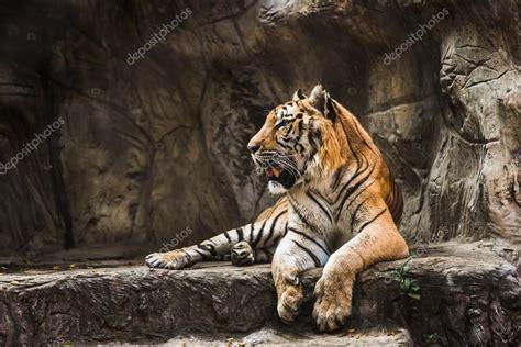 tigre seduta seduta in un giardino zoologico della tigre foto stock