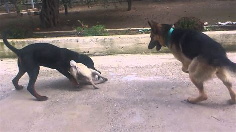 german shepherd vs rottweiler pug vs rottweiler german shepherd
