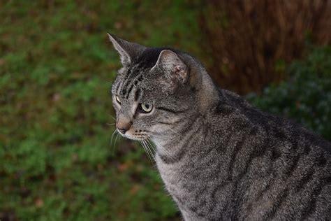 cat cat free photo cat striped cat tiger cat animal free
