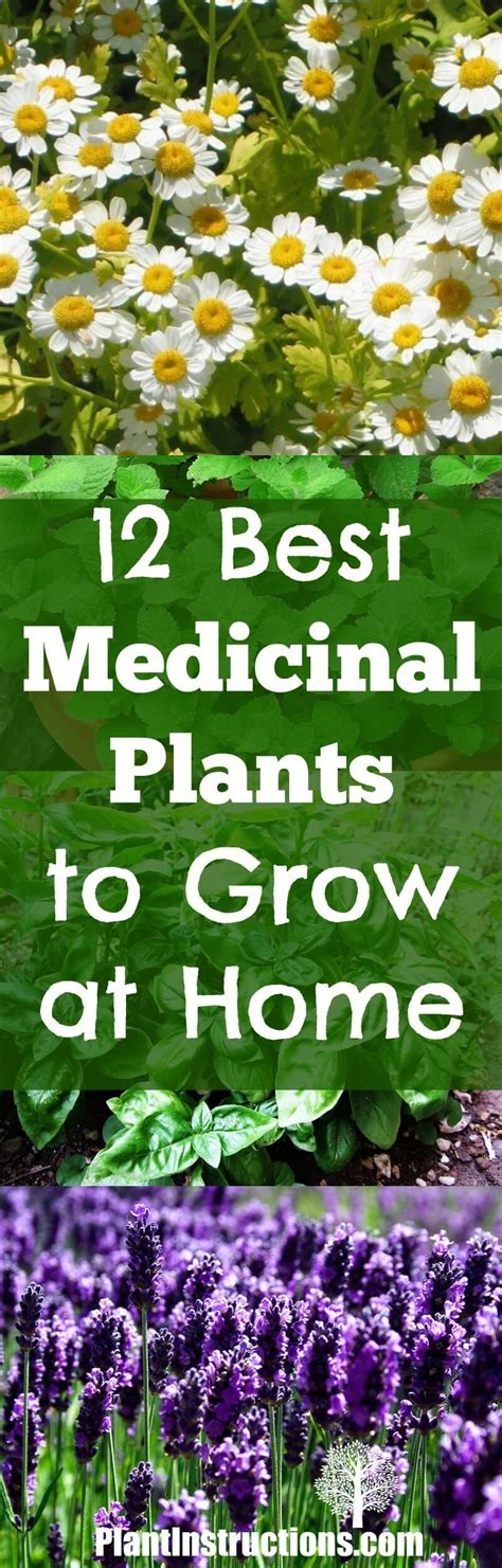 Grow Home by 12 Medicinal Plants To Grow At Home Plant