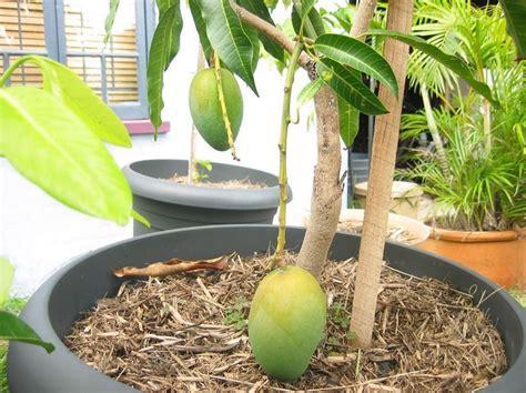 cara menanam buah mangga di dalam pot kumpulan menanam