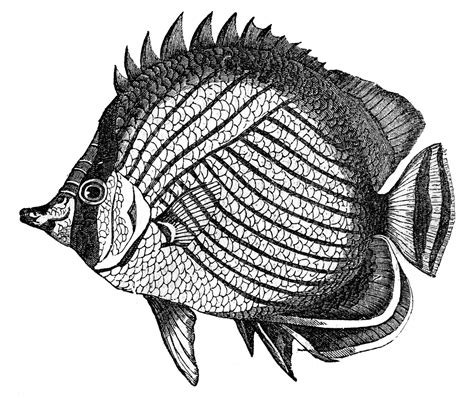 retro drawing vintage clip art fish engravings the graphics fairy