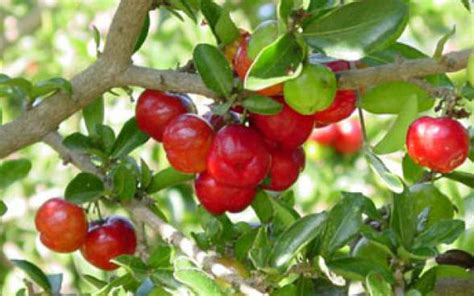 cherry tree not producing fruit tropical fruit trees barbados cherry