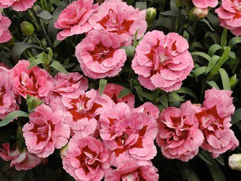 garofani in vaso garofanino dianthus varie specie e ibridi
