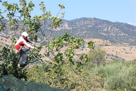 agricola etnea pistacchio biologico da pistacia etna bio soc coop agricola