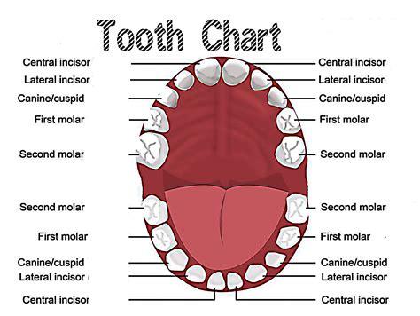 teeth diagram human teeth names diagram teeth diagram elsavadorla