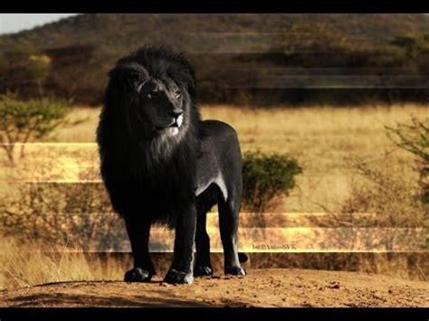 imagenes de leones a blanco y negro el le 243 n negro 191 mito o realidad youtube