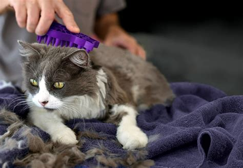 8 Tips On Bathing Your Feline by Haired Cat Grooming Tips Wishforpets