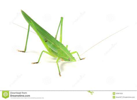 Imagenes De Grillos Verdes | grillo verde imagen de archivo imagen de aislado insecto