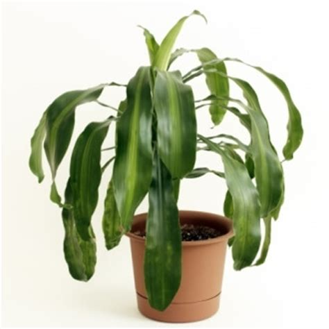 corn plant dracaena fragrans description and care