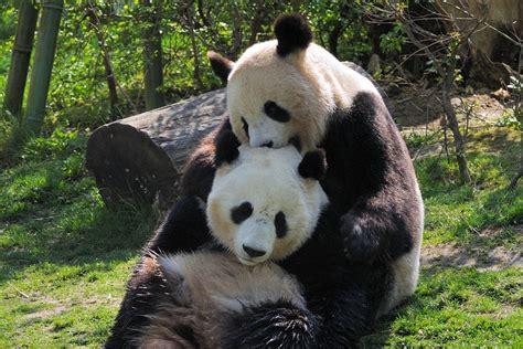 wann sind kater geschlechtsreif fragen rund ums panda kinderkriegen tiergarten sch 246 nbrunn