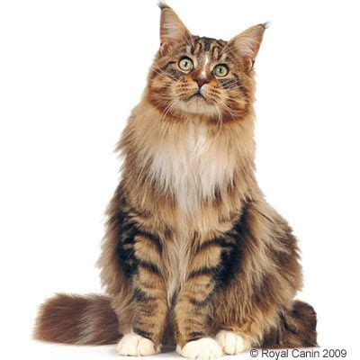 royal canin maine coon adult   tanio w zooplus