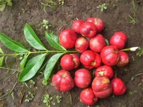 Menumpas Diabetes Mellitus Dengan Mahkota Dewa tanaman mahkota dewa yang berkhasiat icanhear s weblog