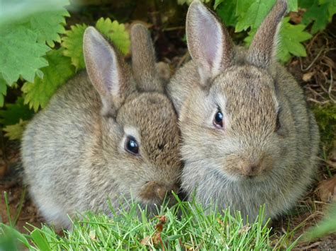 can rabbits see color type coloration in rabbits color genetics
