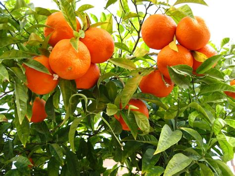 oranges investment goldenscape tree africa