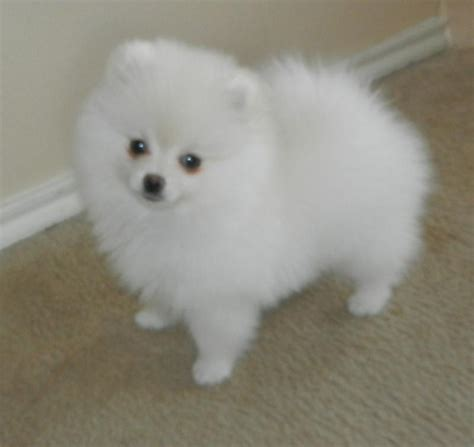 teacup pomeranian adults size below are our exles of whites we produced here to give you an idea what our