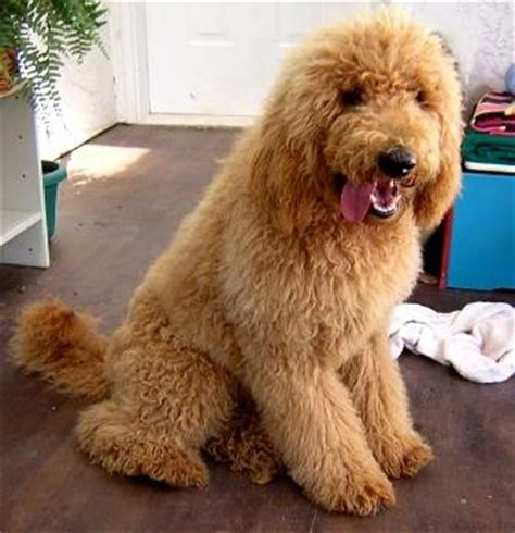 poodles long hair in winter long haired red poodle oodles of poodles pinterest