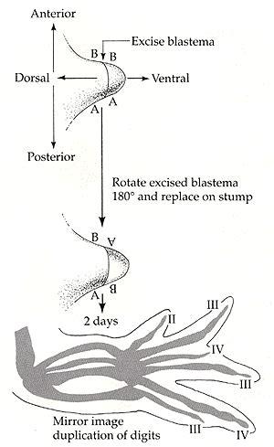 pattern formation in salamanders devbio 11e
