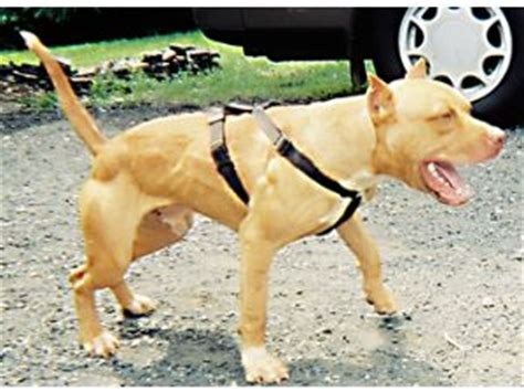 yellow pitbull puppies for sale american pit bull terrier puppies for sale
