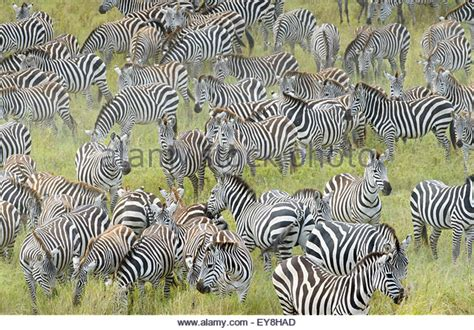 zebra migration pattern migration pattern stock photos migration pattern stock