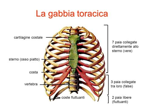 dolore alla gabbia toracica il sistema scheletrico e le articolazioni ppt