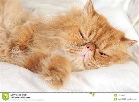 Ginger Persian cat sleep stock image. Image of domestic
