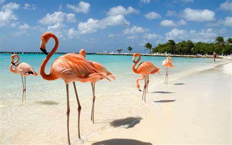 flamingo wallpaper nyc what it s like to swim with flamingos in aruba travel