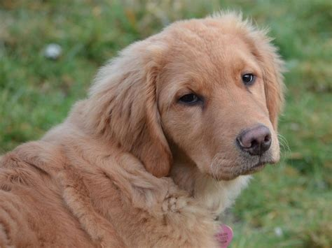 pets4homes golden retriever golden retriever puppies peterborough cambridgeshire