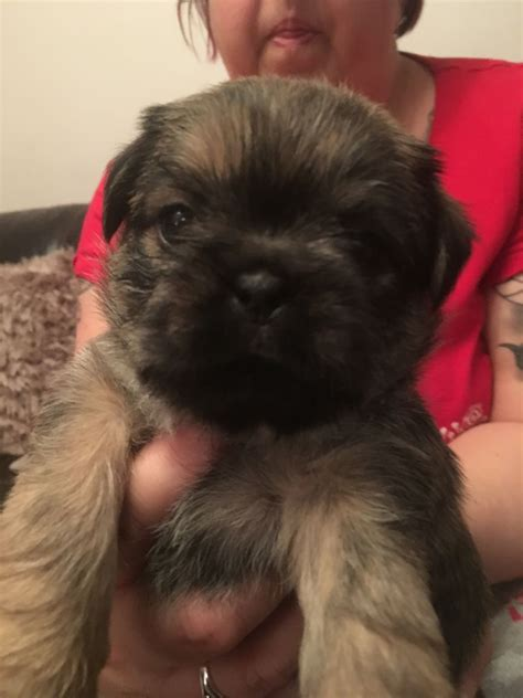 pug x shih tzu puppies for sale pug x shih tzu pups for sale stoke on trent staffordshire pets4homes
