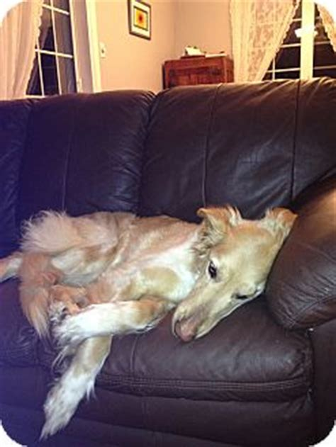 greyhound golden retriever mix mandy adopted rigaud qc greyhound golden retriever mix
