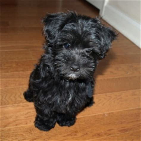black maltipoo puppies 25 best ideas about black maltipoo on maltipoo cutest small dogs and